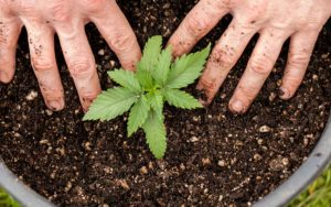 Cannabis is just another crop